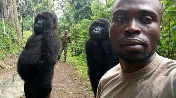Foto Gorila Welfie Bareng Petugas Taman Nasional Viral di Facebook,
